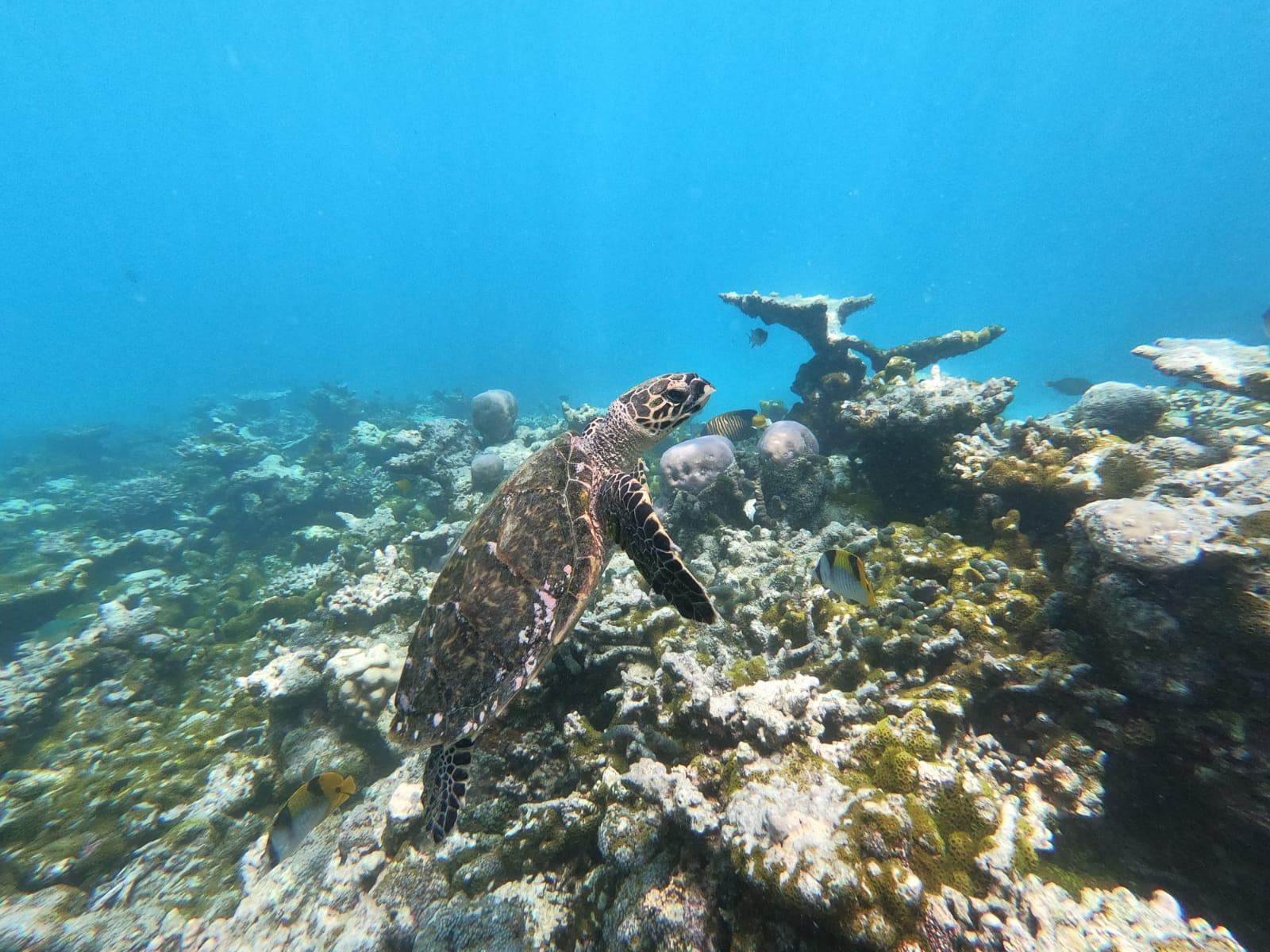 udafushi_fishs_scuba_turtle