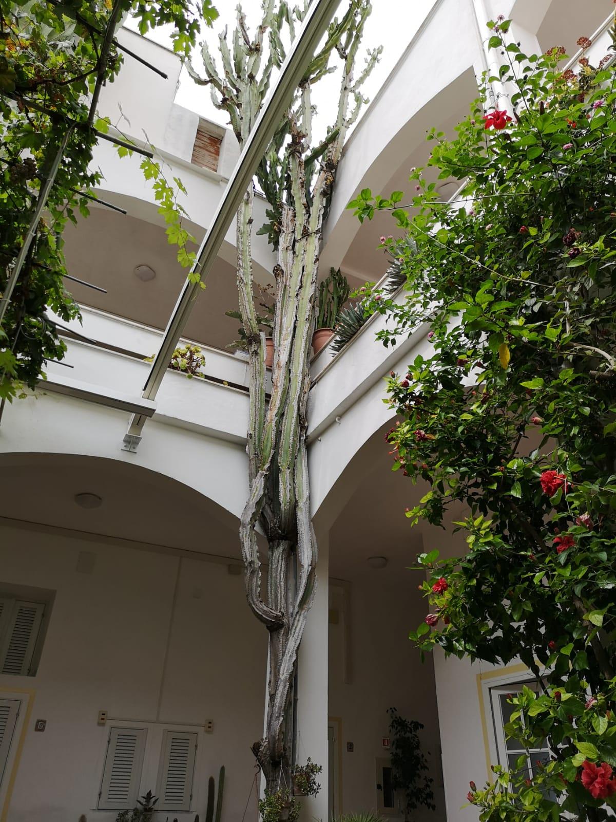 Cactus alto e centenario nel cortile dell'hotel Feola di Ponza