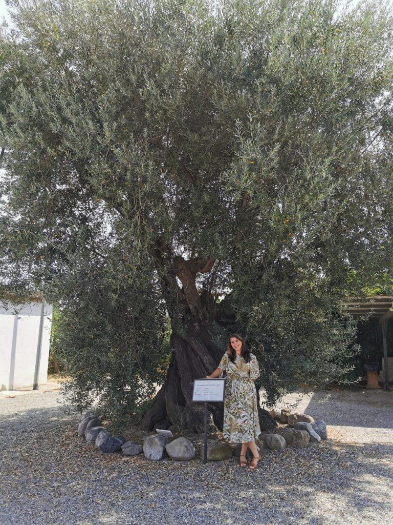 Ulivo secolare di fronte al museo della fabbrica di liquirizia Amarelli in Calabria