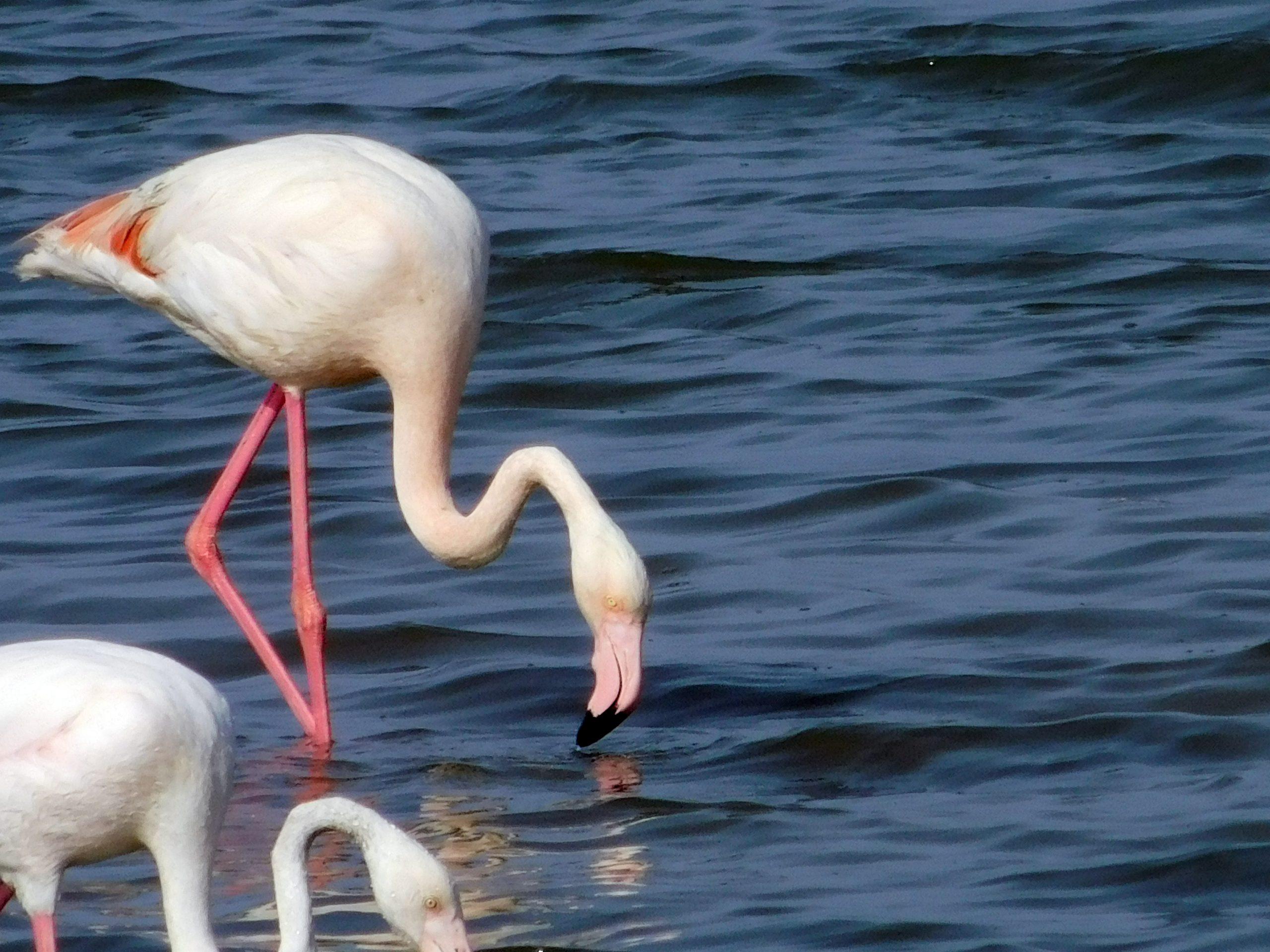 fenicottero dalle zampe rosa e corpo chiaro, con le zampe in acqua e collo abbassato